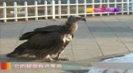 精心孵育高山兀鹫 安能辨它是雌雄?