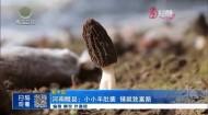 河南睢县:小小羊肚菌 铺就致富路