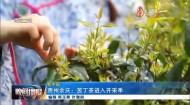 贵州余庆:苦丁茶进入开采季