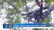 云南景东:保护区内近距离拍到灰叶猴树上活动场景