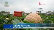 """长春农博园种出""""千斤南瓜"""""""