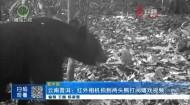 云南普洱:红外相机拍到两头熊打闹嬉戏视频