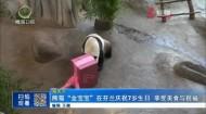 """熊猫""""金宝宝""""在芬兰庆祝7岁生日 享受美食与祝福"""