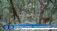 云南普洱首次拍到国家一级保护动物豺珍贵视频