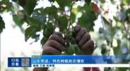 山东荣成:特色种植助农增收