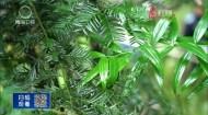 重庆丰都:野生红豆杉种群复苏迹象明显