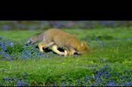 【青海·我们的国家公园】藏狐