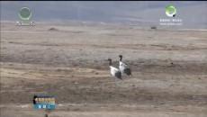 300多只黑颈鹤飞抵玉树嘉塘草原