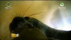 新西兰科学家使用全景摄像跟拍研究南极海豹行为特点
