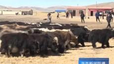 高原牦牛文化旅游论坛暨高原牦牛美食节在天峻县举行