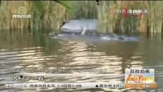 拍客直擊海湖新區濕地公園斃命的野鴨