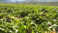 祁连县扎麻什乡:特色种植促进农业增效 农民增收