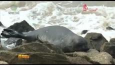 南象海豹现身斯里兰卡首都引关注