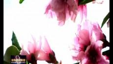 桃花盛開報春來