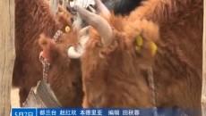 """发展牛产业让日子""""?!逼鹄? /></a> <p><a href="""