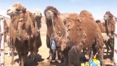 駱駝馱出增收路