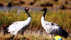 黑颈鹤在尕海国家湿地公园栖息