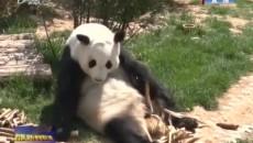 西寧熊貓館開館一年接待國內外游客近50萬人次