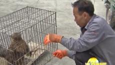 格爾木市成功救助國家二級保護動物紅隼和普通鵟