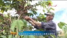 我国咖啡主产地云南普洱进入鲜果采摘旺季