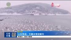 山东荣成:天鹅沐雪迎新年