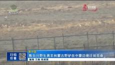 数百只野生黄羊和蒙古野驴在中蒙边境迁徙觅食