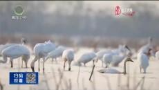 江西鄱阳湖:用心守护候鸟天堂