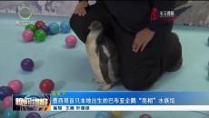 """墨西哥首只本地出生的巴布亚企鹅""""亮相""""水族馆"""