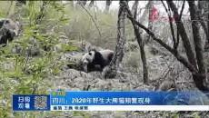 四川:2020年野生大熊猫频繁献身