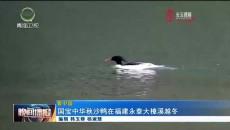 国宝中华秋沙鸭在福建永泰大樟溪越冬