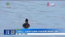 云南保山:连续两年监测到全球极度濒危物种青头潜鸭