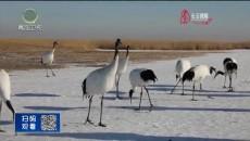 黑龙江:鹤舞寒冬
