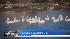 珍稀卷羽鹈鹕在福建罗源湾越冬