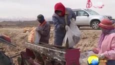 乌兰:733公顷藜麦种植工作全面铺开