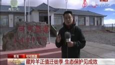 今日中国·青海篇 可可西里:藏羚羊正值迁徙季 生态保护见成效