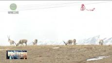 青海可可西里藏羚羊迁徙之谜