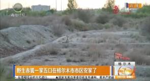 野生赤狐一家五口在格尔木市市区安家了