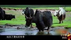 我们的国家公园 玉珠峰下的牧人生活