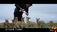 我们的国家公园  萌宝藏羚羊的幸福生活