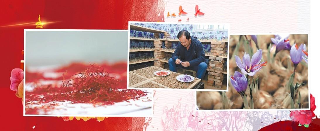 【青海·故事】青海民和 藏红花开花吐蕊助增收