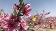 """桃花朵朵拈香自来 我们在民和邂逅一场粉色""""艳遇"""""""