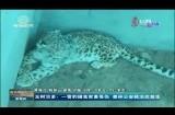 玉树治多:一雪豹捕食家畜受伤  森林公安救治后放生