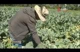 大通县1.4公顷露地蔬菜上市