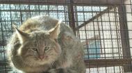 全球唯一圈养荒漠猫在西宁展出