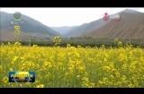 循化县万亩油菜花扮靓美丽乡村