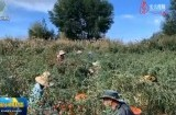 【关注第四个中国农民丰收节】格尔木:十万亩枸杞迎来丰收季
