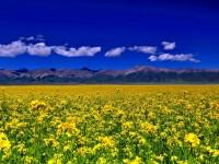 大美青海---金色門源