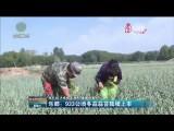 乐都:933公顷冬蒜蒜苔陆续上市