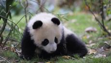 定了!西宁熊猫馆本周日正式开馆