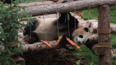 西宁熊猫馆开馆 国宝正式与市民见面